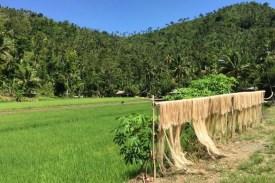 Philippinen-Abaca-und-Feld