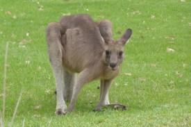 Australien-Tierleben-Kaenguru-schaut