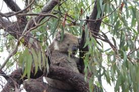Australien-Tierleben-Koala-wach