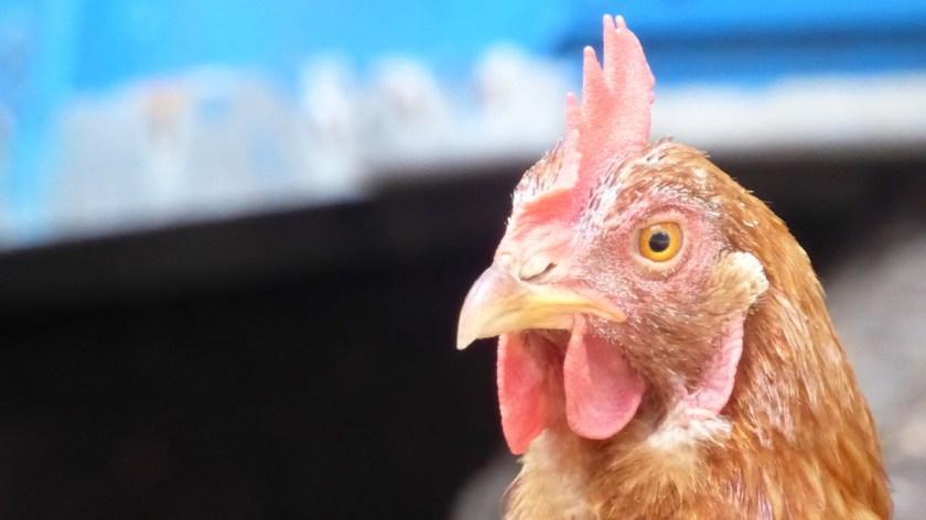19 Monate auf Weltreise: Das verlorene Huhn kehrt zurück