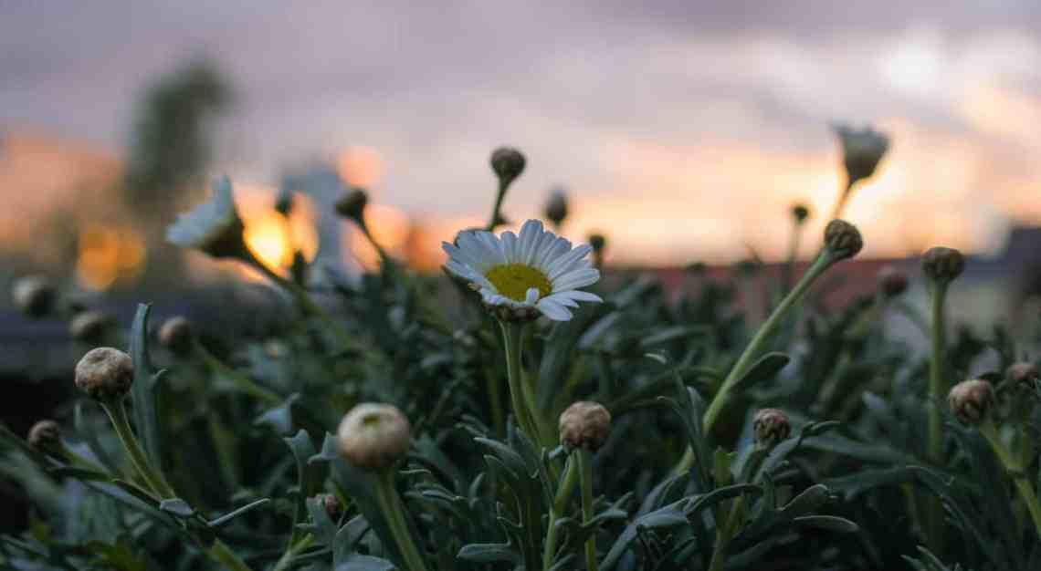 Margeriten im Sonnenuntergang