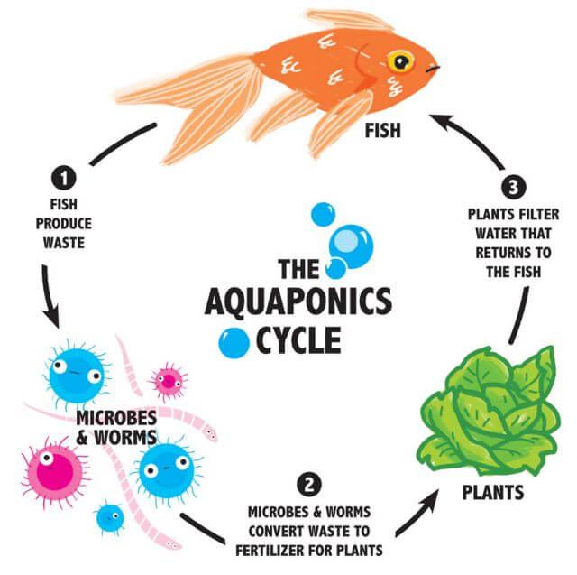 the-aquaponics-cycle