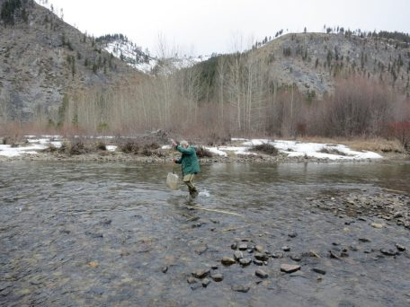 The cold fast-moving water of the Entiat River supports a healthy suite of aquatic invertebrates (mostly insects) who feed by either shredding dead leaves, grazing on algae, filtering particles in the water, or collecting fine organic matter on the riverbed. Others are either predators or parasites on other invertebrates.