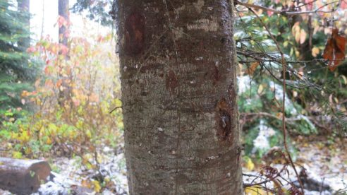 Grand fir (Abies grandis) bark is relatively smooth, ashy-gray, and has resin-filled blisters.