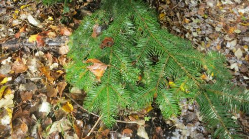 Two-ranked needles on Grand fir (Abis grandis). Looking down, we can see the brown stem.
