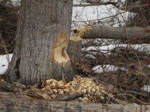 cottonwood felled by beaver