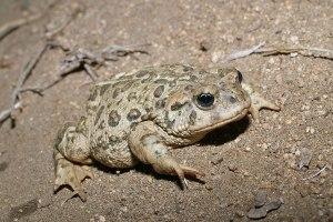 Western Toad by John Sullivan