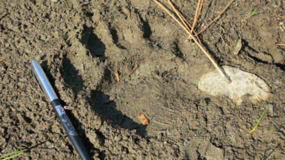 Ursus americanus black bear