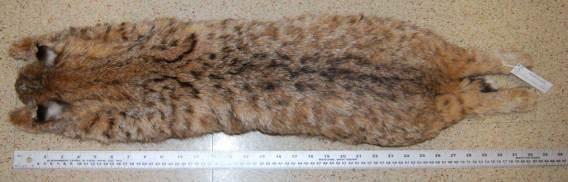 Lynx rufus (Felis rufus) Bobcat