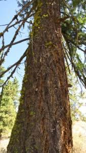 Douglas-fir Pseudotsuga menziesii