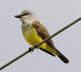 Western kingbird Tyrannus verticalis