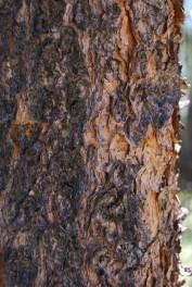 lodgepole pine Pinus contorta