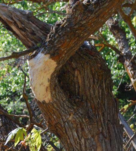 Acer macrophyllus bigleaf maple