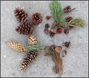 native pine cones