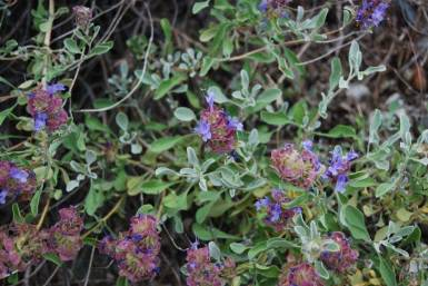 Salvia dorrii purple sage