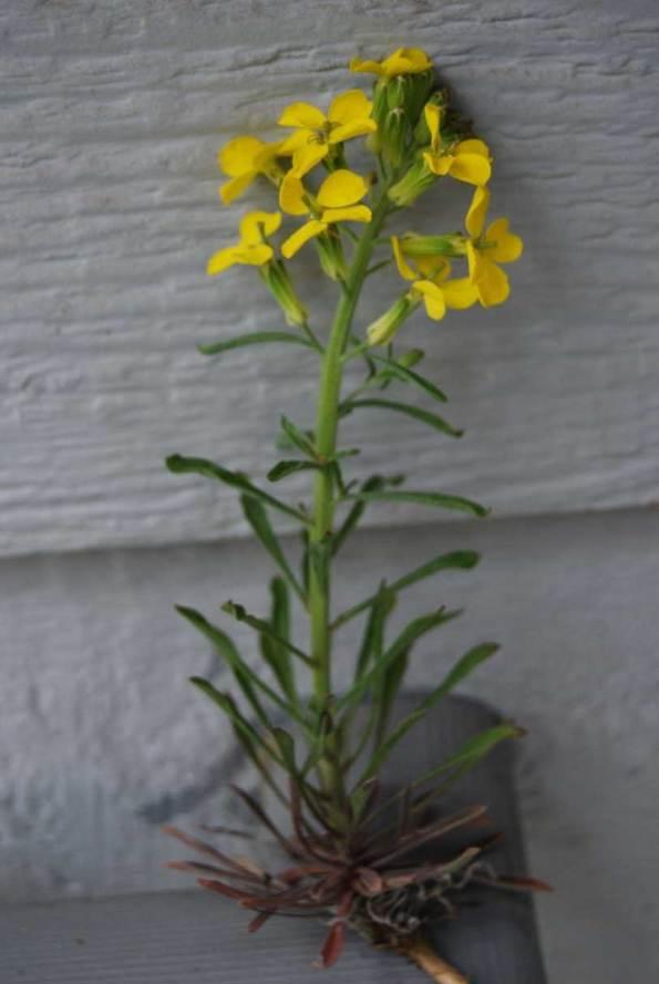 Erysimum species wallflower