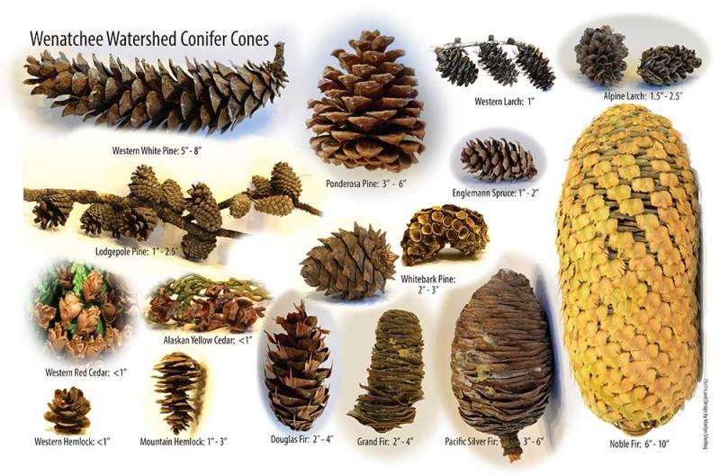Conifer cones of Washington | Marilyn Sherling