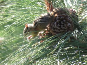 Yellow-pine chipmunk using its front paws to extract ripe seeds from a ponderosa pine cone.