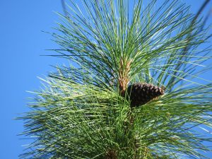 Conifer cone ready for harvest