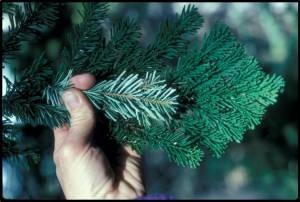 Looking from above, Pacific Silver fir have crowded glossy green needles that hide the