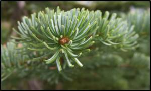 Subalpine fir needles have the same blue-green color on all sides and grow all around the branch