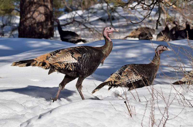 Merriam's Turkey in Chelan Couny Photo: Dave Hillestad
