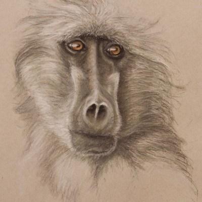 baboon pastel drawing