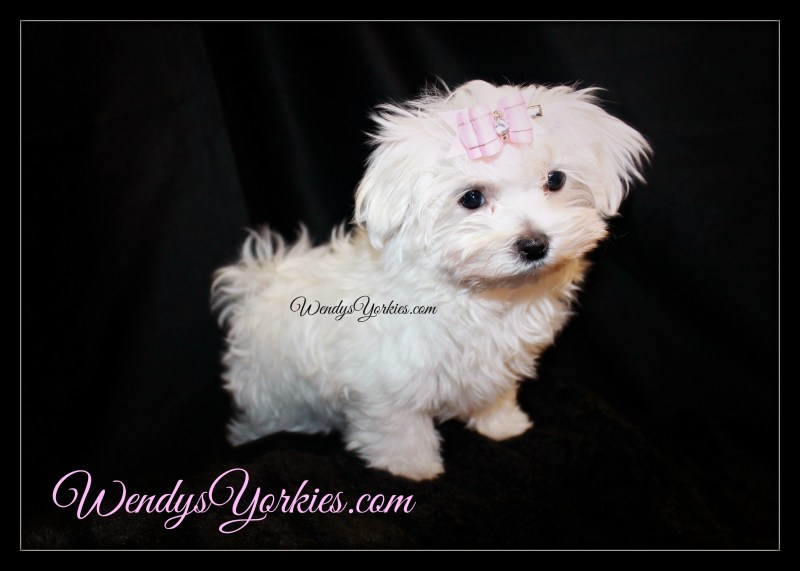 Radiant Sale Maltese Puppies Maltese Puppies Sale Seattle