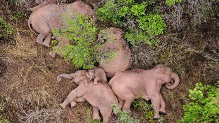"""象群 """"躺平""""暂停迁移,小象睡姿萌化了"""