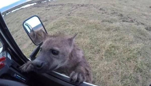 鬣狗卖萌求喂食!男子一看后照镜吓坏:好险没下车