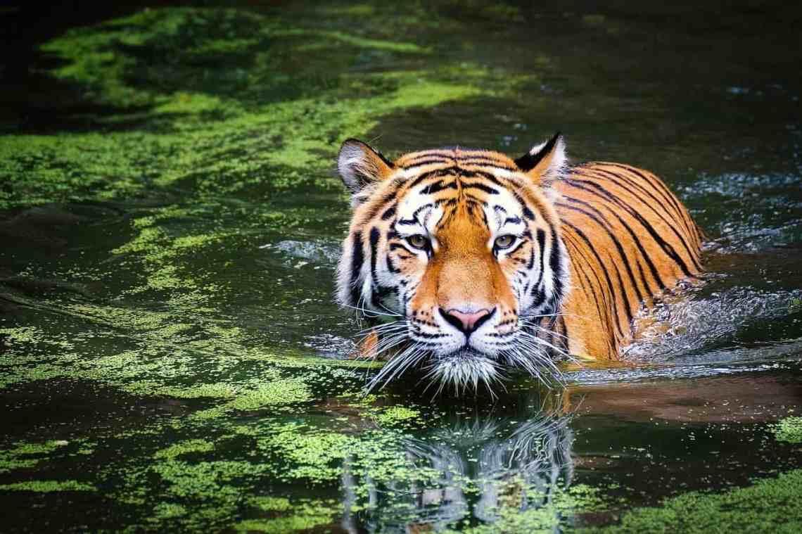 Foto van een tijger bij artikel over Tiger King