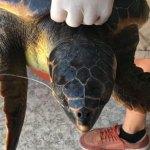 """Crotone, tartaruga Caretta Caretta salvata dalle """"Sentinelle del mare"""""""