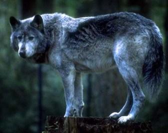 wolfev