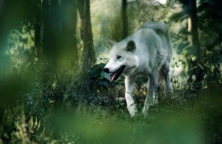 white-wolf-walking-in-forest