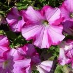 petunia-581347_1280-PD