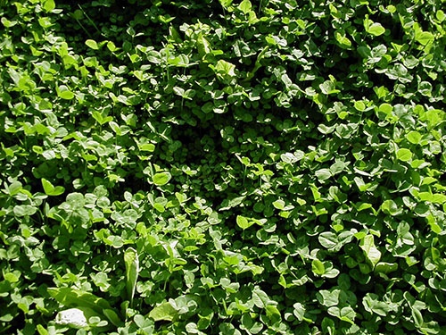 Clover and Chicory Seed Plants