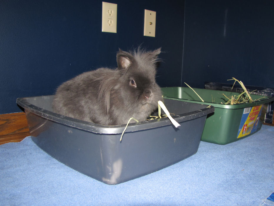 Litter Training Your House Rabbit