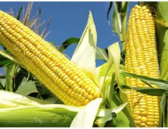 The Nigerian government under the leadership of Mr. Muhammadu Buhari, the country president has contracted four companies to import 262,000 tons of maize, MAWA Foundation has learned. The companies who got the contract to import maize are Wacot limited, Chi Farms Limited, Crown Flour Mills Limited and Premiere Feed Mills Limited.
