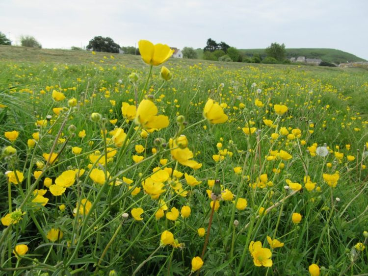 Buttercups appearing in the Water Meadows in May in West Bay