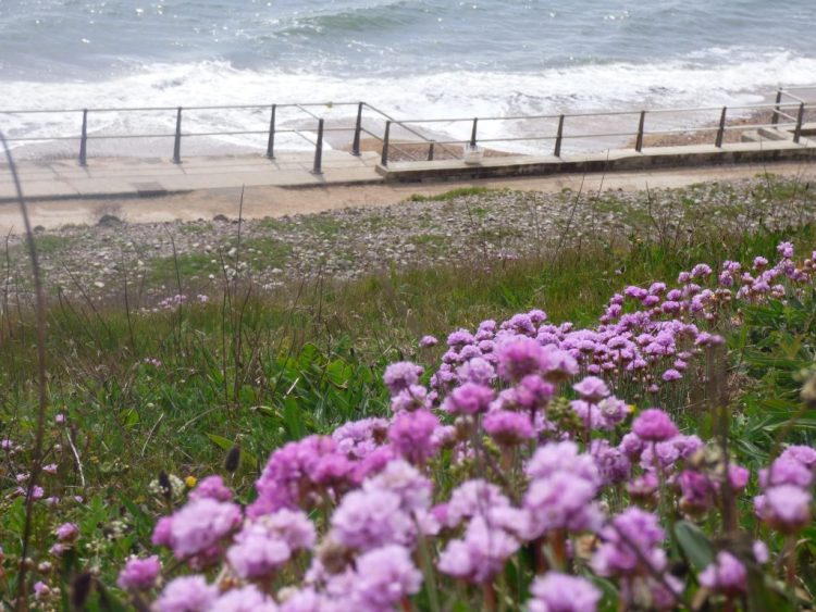 Sea thrift emerging in May along the cliff in West Bay