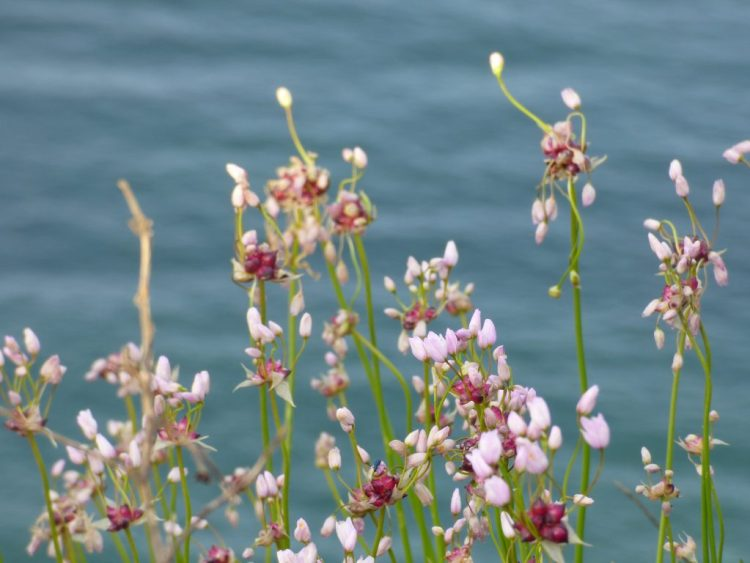 Field Garlic growing on the cliff in May in West Bay