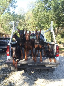#1_European_Doberman_Puppies_For_Sale_San_Jose_California