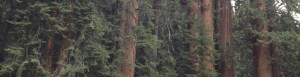 a picture of sequoia trees. photographer Anita Gnan