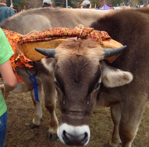 Look at these oxen! With their blue ribbon!