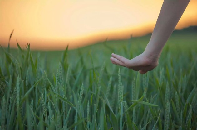 Germany, Rhineland-Palatinate, Hand touching wheat field in early summer