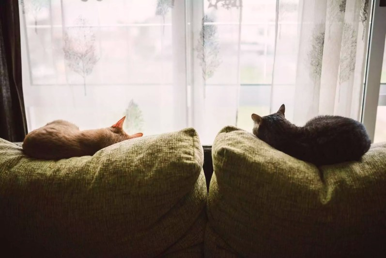 Back view of two cats sleeping on the backrest of a couch in front of a window