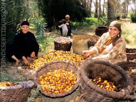 Date harvest in Siwa Oasis