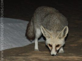 Desert foxes are regular and friendly visitors in the Western Desert of Egypt