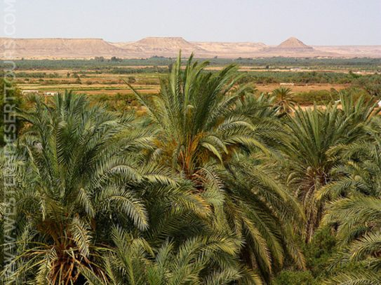 Palm groves in Bahariya Oasis