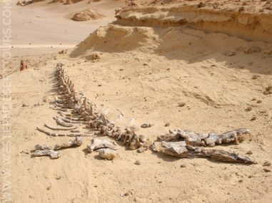 Whale skeleton in the Wadi al-Hitan UNESCO World Heritage Site